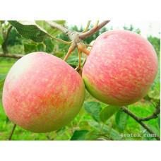 Яблоня Ксения