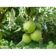 Яблоня Мечта зеленая