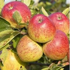 Яблоня Пепинка нежная