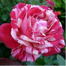 Роза Папа Гена