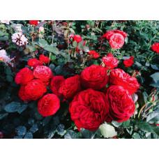 Роза Пиано красная