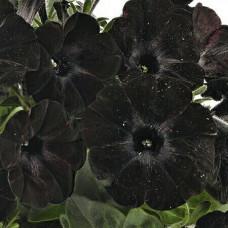 Светуния Black Satin