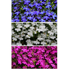 Лобелия Big Blue / Purple Star / White Star (Контейнер КВ 10,5 или CLN 11)