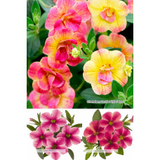 Калибрахоа Vulcano Neon/Vulcano Pink/Chameleon Double Pink Yellow (Контейнер КВ 10,5 или CLN 11)