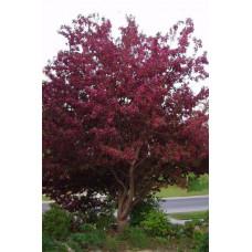 Яблоня  Royalty (Высота 3-3,5  метра С10)