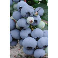 Голубика Bluecrop (Контейнер С5)