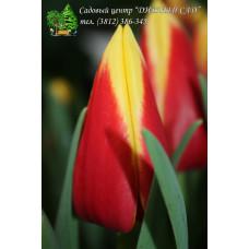 Тюльпан Bangkok (mut. Full House) (Розничная цена за шт.)