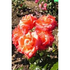 Роза Кримсон Глори (Контейнер С2)