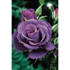 Роза Голубая рапсодия (Контейнер С2)