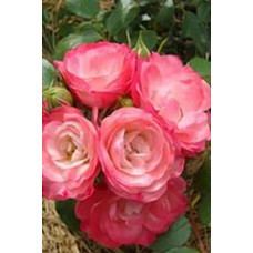 Роза Пад де Велюр (Контейнер С2)