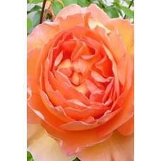 Роза Пет Остин (Контейнер С2)