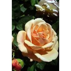 Роза Леандра (Контейнер С2)