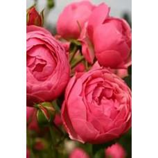 Роза Помпонелла (Контейнер С2)