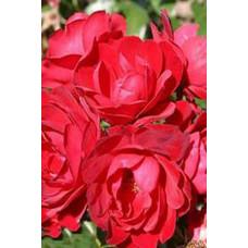 Роза Милана (Контейнер С2)