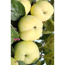 Яблоня Папир Янтарное (Папироянтарное) (ЗКС)
