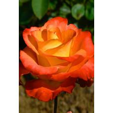Роза Джипси