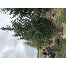 Ель сибирская сизая (Высота 3,5-4 м.)