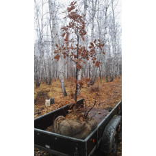 Дуб черешчатый (Высота 3,5-4 м.)