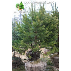 Сосна обыкновенная (Высота 2-2,5 метра)