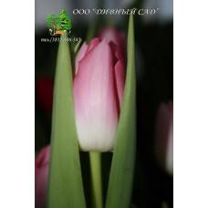 Тюльпан Dynasty (Розничная цена за шт.)