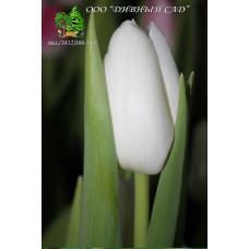 Тюльпан Dynasty White