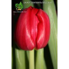 Тюльпан Friso