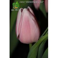Тюльпан Gabriella