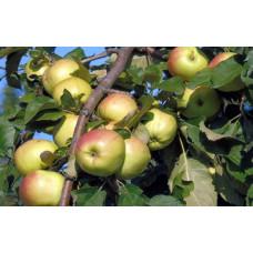 Яблоня низкорослая Братчуд
