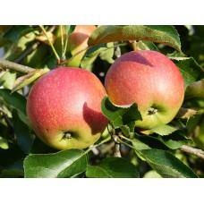 Яблоня низкорослая Ковровое