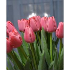 Тюльпан First Rosy